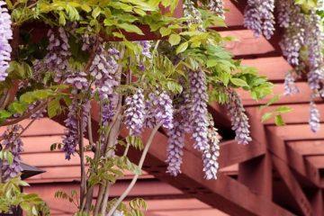 wisteria-1152229_640