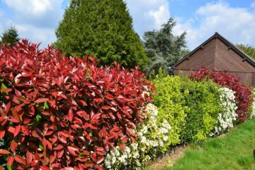 photinias