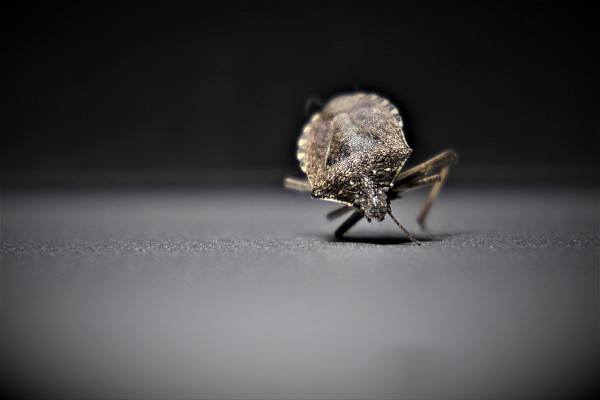 bedbugs-4332923_1280